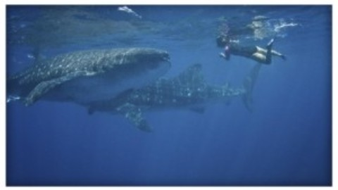 Whale Shark Season Begins in Quintana Roo