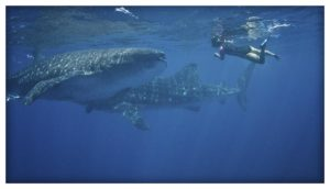 Whale Shark Season Begins in Quintana Roo Photo courtesy of Pelagic Visions - Blue H2o Cozumel