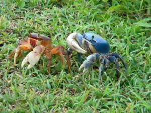 Cozumel Blue Crab