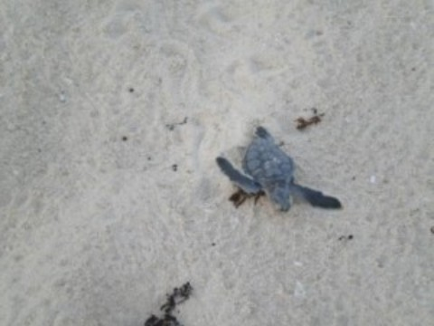 Cozumel Turtle Season 2016