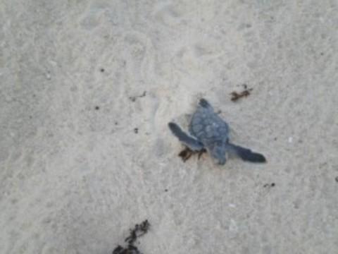 Cozumel Turtle Season 2016