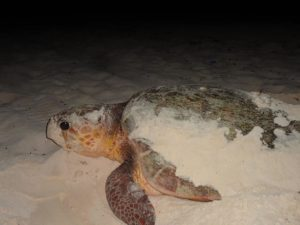 Cozumel Turtle Nesting Season 2016: 72 Nests