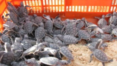 2018 Cozumel Turtle Season