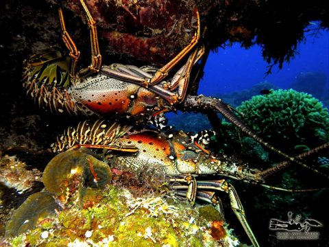 Cozumel Lobster Fishermen Report Banner Year