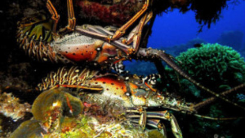 Cozumel Lobsters Ship Internationally
