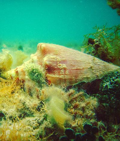 Cozumel Conch