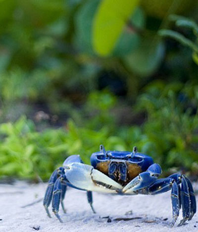Cozumel Blue Crab