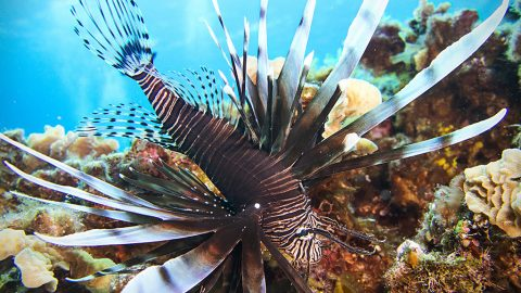 Cozumel Lionfish Prices
