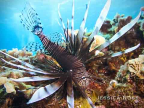 Lionfish Cozumel