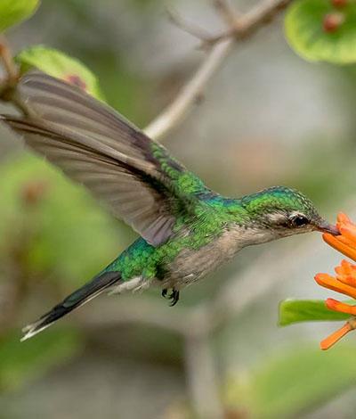 Cozumel Hummingbird