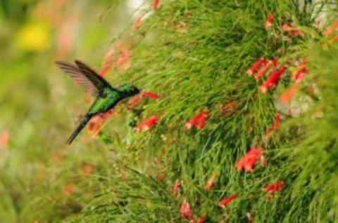 Cozumel Hummingbird Migration