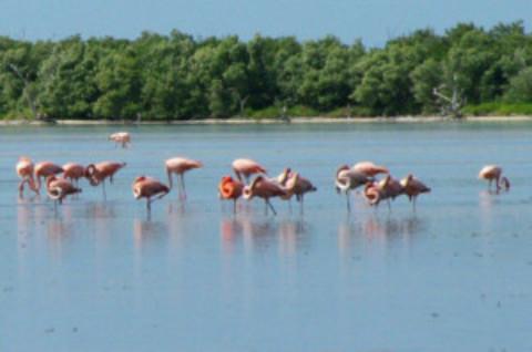 Cozumel Flamingos