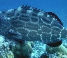 Black Grouper Season Cozumel