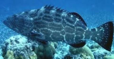 Black Grouper Season Cozumel
