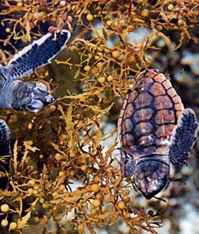 Cozumel Seaweed