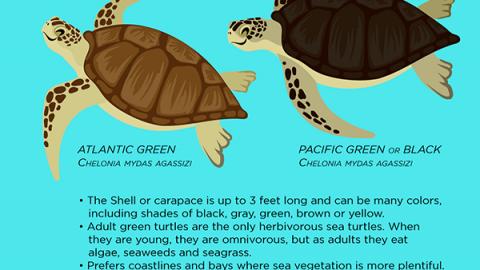 Cozumel Turtle Season 2019
