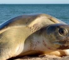 Cozumel Turtles