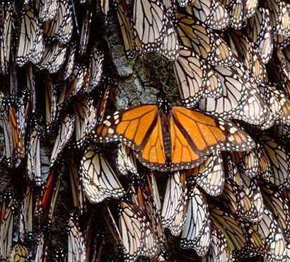 BBC Monarch Mexico