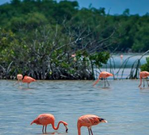 Cozumel Flamingos Fred Boehm