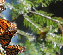 Monarch Butterflies Mexico