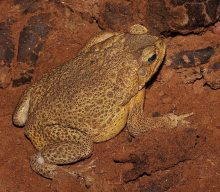 Cozumel Toad