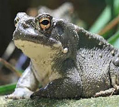 Cozumel Venomous Toad