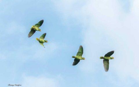 Cozumel Parrots