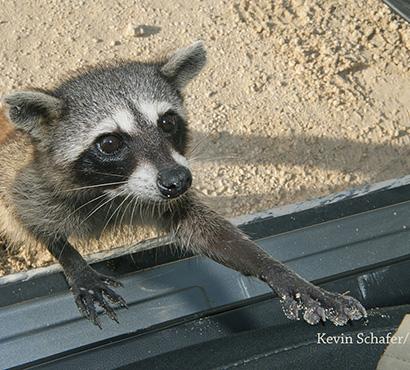 Cozumel Raccoon Kevin Schafer