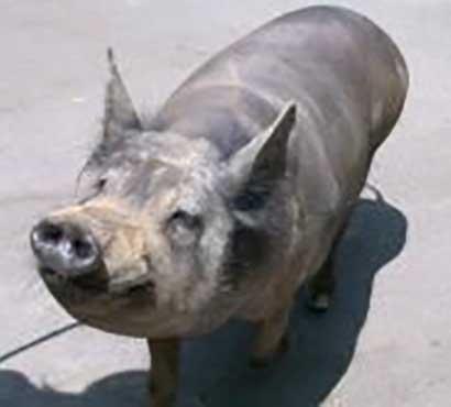 Cozumel Yucatan Pig