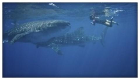 Whale Shark Season Quintana Roo