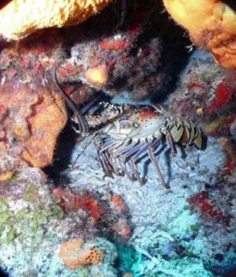 Cozumel Lobster Season