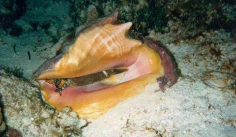 Conch Ban Season Cozumel
