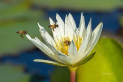 Yucatan Bees
